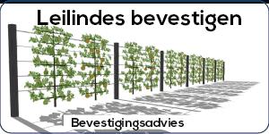 Leilinde bomen bevestigen